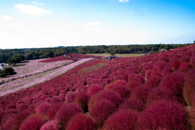 Hitachi seaside park de hitachinaka japon