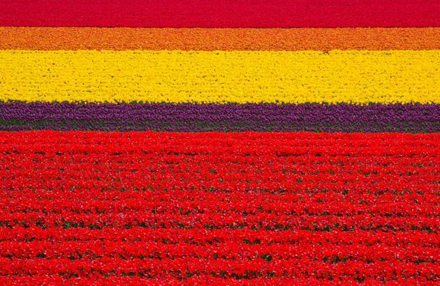 Les champs de tulipes pays bas